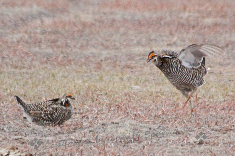 Jumping Chicken ~ Sometimes in the middle of two male Greater Prairie Chickens' courtship display, one or both birds will jump and flutter into the air.  Then they come down and continue postering.