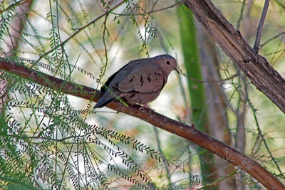 Common Ground Dove ~ This little dove was photographed at the Sonny Bono Visitor's Center at Salton Sea.