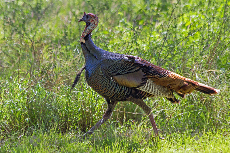 Wild Turkey ~ This turkey was one of many I saw in Texas this week.  It was at Choke Canyon State Park in central Texas.