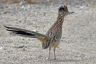 Roadrunner on the Trail ~ Yesterday I stopped for a little birding at Whitewater Wildlands Preserve.  It wasn't a good time of day, being mid-day, and it was 95 degrees, so the birds were a little scarce.  My favorite of the day was this roadrunner who kept his distance from me, but stayed in sight for a few photographs.
