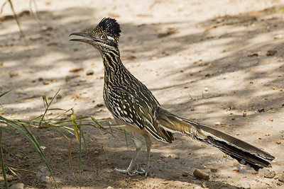 Greater Roadrunner ~ This roadrunner was photographed in southern Texas.  He was very cooperative, leading the way into a bird viewing area, letting me walk right behind him, getting many shots of him.