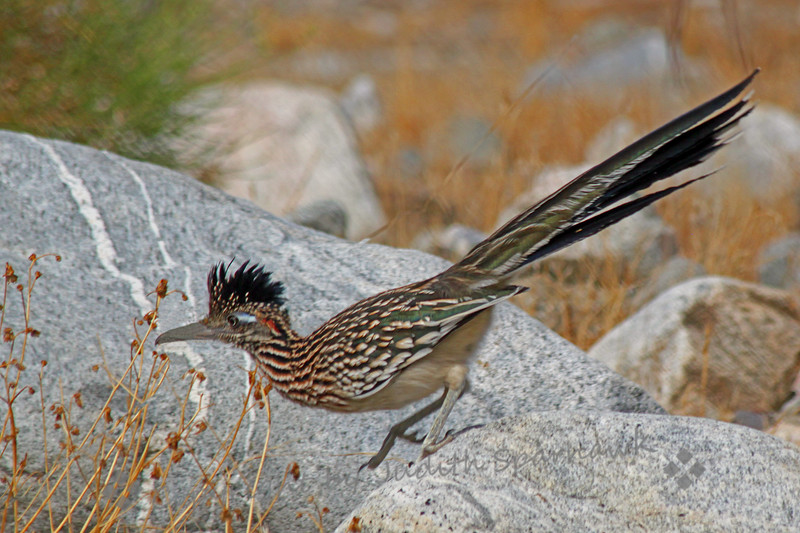 Roadrunner on the Run ~ This was my last shot of this  roadrunner as he stepped off his look-out rock and headed into the undergrowth.  I looked away for a second, and then he was gone, never to be seen again.  This was taken at Whitewater Wildlands Preserve in the desert near Palm Springs, CA.