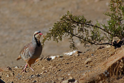 Chukar Walking ~ As I headed up to the east side of the Sierras for birding, I stopped at the small old mining town of Randsburg, and saw several Chukars.  I was glad I made the stop, as I missed them at my usual place out of Big Pine, California.