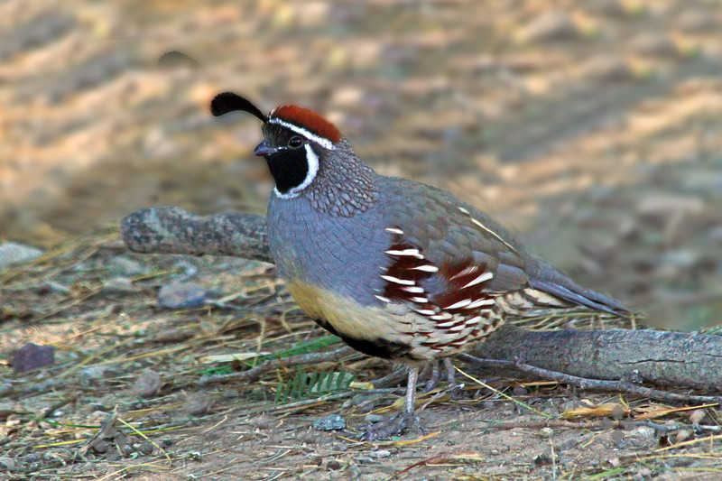 Male Gambel's Quail ~ This beautiful quail was photographed near Salton Sea recently.