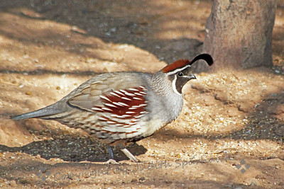 Gambel's Quail ~ This male Gambel's Quail was photographed at Sono Bono Visitor's Center at Salton Sea, December, 2012.