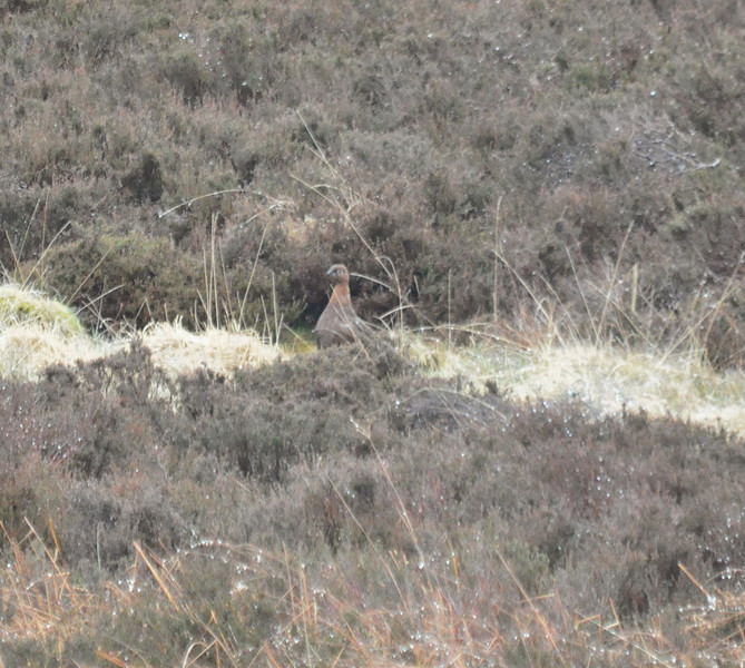 Red Grouse Scotland May 2012