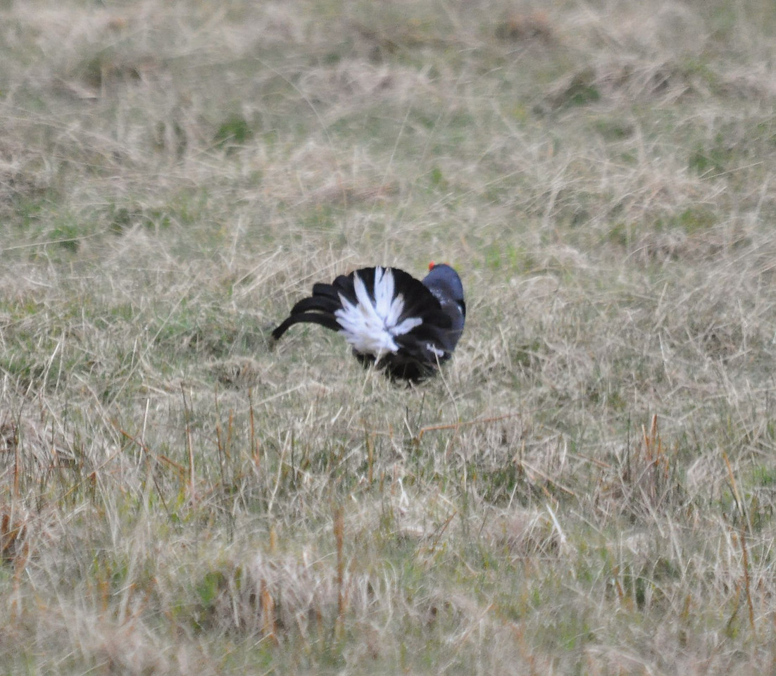 Black Grouse Clyde May 2012