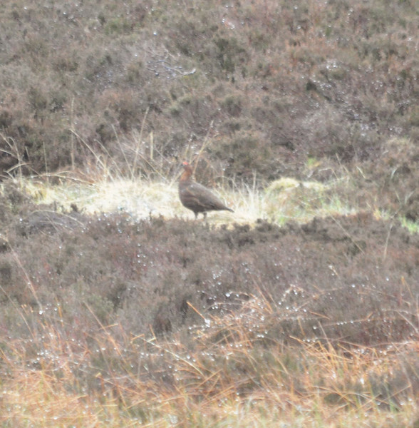 Red Grouse Clyde May 2012