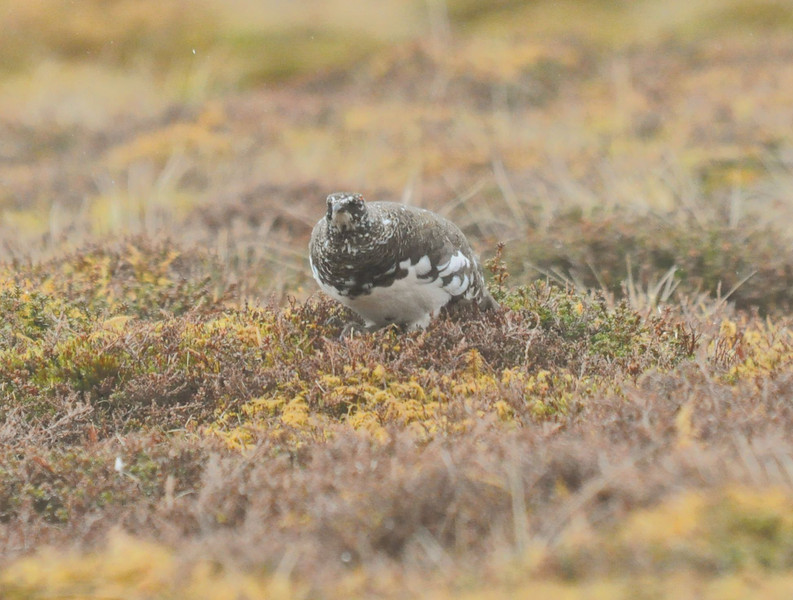 Ptarmigan Cairgorms May 2012