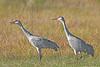 Sandhill Cranes,<br /> Brazoria National Wildlife Refuge, Texas