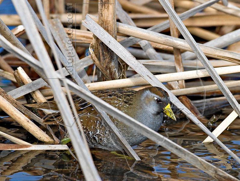 Sora Rail,<br /> Brazoria National Wildlife Refuge, Texas