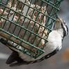 Female Hairy Woodpecker.