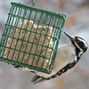 Note that the length of the beak relative to the head is much greater than for a Downy Woodpecker.  Besides that, the Hairy is about 1/3 bigger.