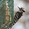 Male Downy Woodpecker.