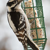 Female Downy Woodpecker.