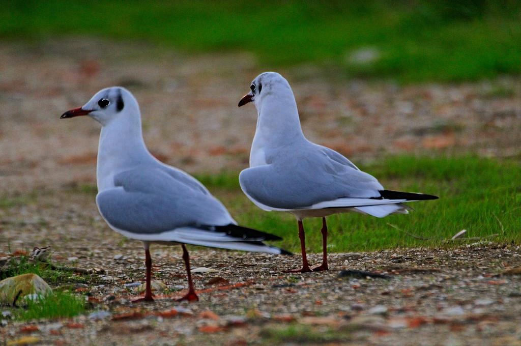 Aves da RIA<br /> Guincho-comum (Larus ridibundus)