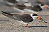 Black Skimmer,<br /> East Beach, Galveston, Texas