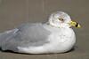 Ring-billed Gull,<br /> East Beach, Galveston, Texas