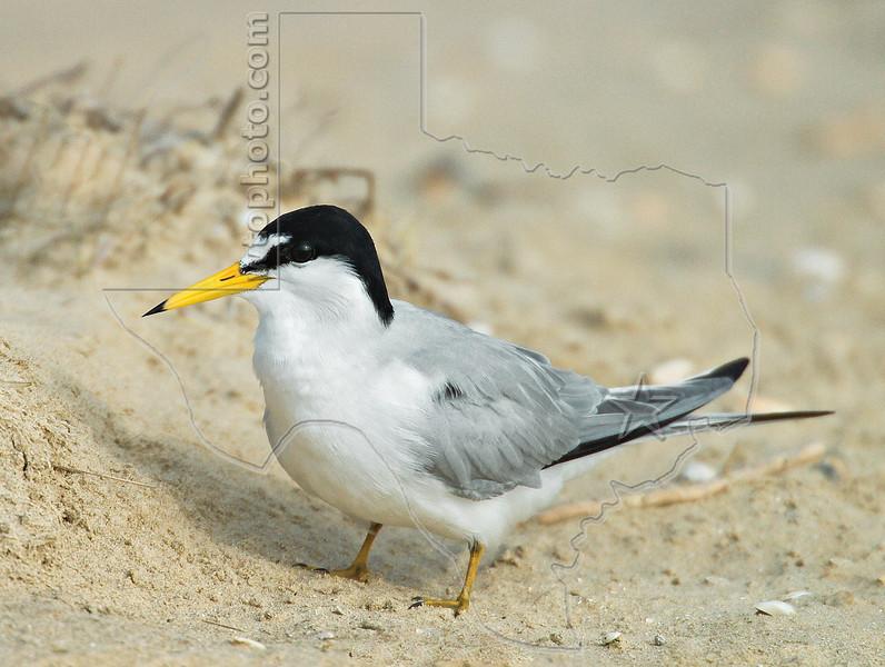Least Tern,<br /> Bolivar Flats, Texas