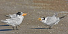 Royal Terns,<br /> High Island Beach, Texas