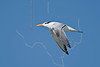 Royal Tern, Flight,<br /> East Beach, Galveston, Texas