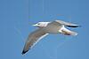 Herring Gull, Flight,<br /> East Beach, Galveston, Texas