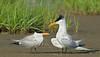 Royal Terns, Courtship,<br /> Bolivar Flats, Texas