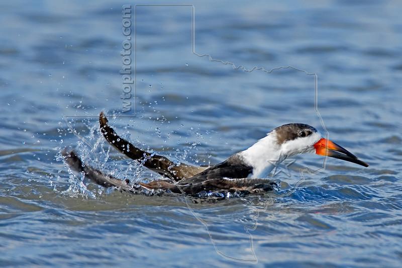 Black Skimmer, Bathing,<br /> East Beach, Galveston, Texas