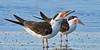 Black Skimmers,<br /> East Beach, Galveston, Texas