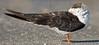 Black Skimmer, Resting,<br /> East Beach, Galveston, Texas