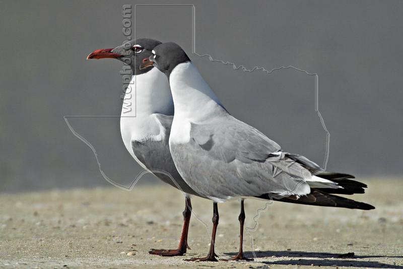 Laughing Gulls,<br /> San Louis Pass, Texas