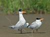 Royal Terns, Mating Walk,<br /> Bolivar Flats, Texas