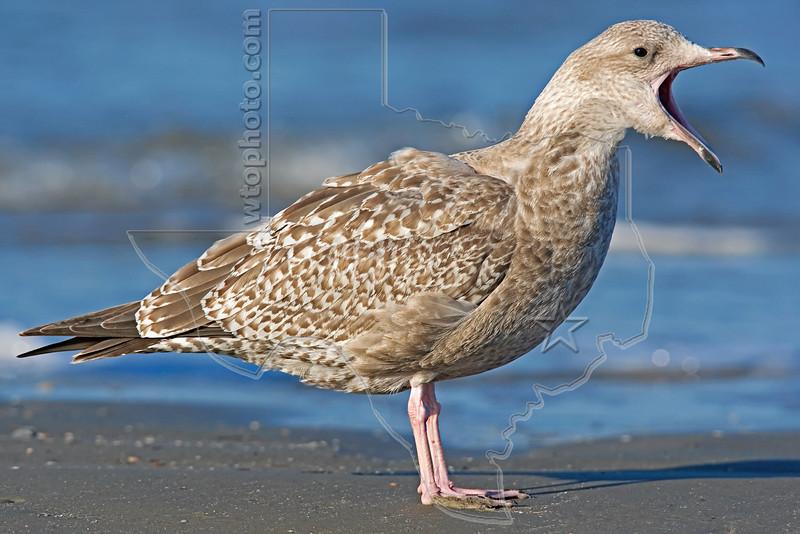 Herring Gull, Juvenile,<br /> East Beach, Galveston, Texas