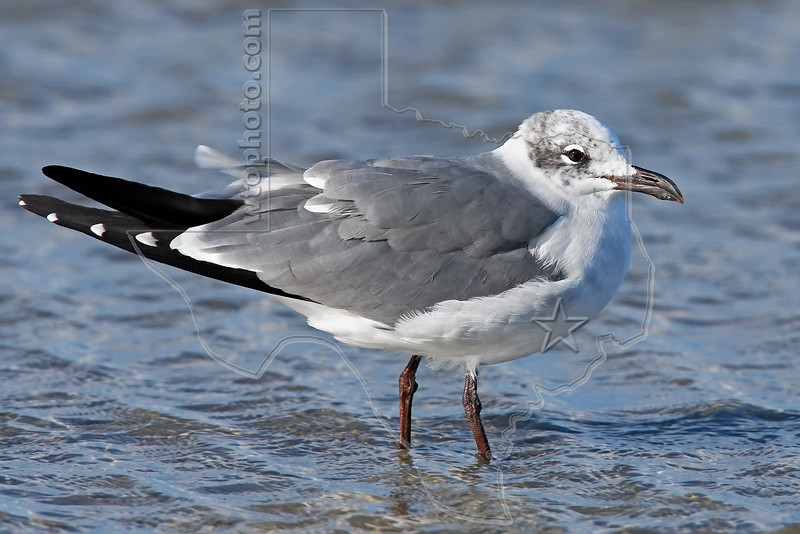 Laughing Gull, Winter Plumage,<br /> East Beach, Galveston, Texas