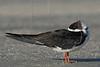 Black Skimmer, Resting<br /> East Beach, Galveston, Texas