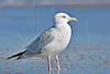 Herring Gull,<br /> San Louis Pass, Texas
