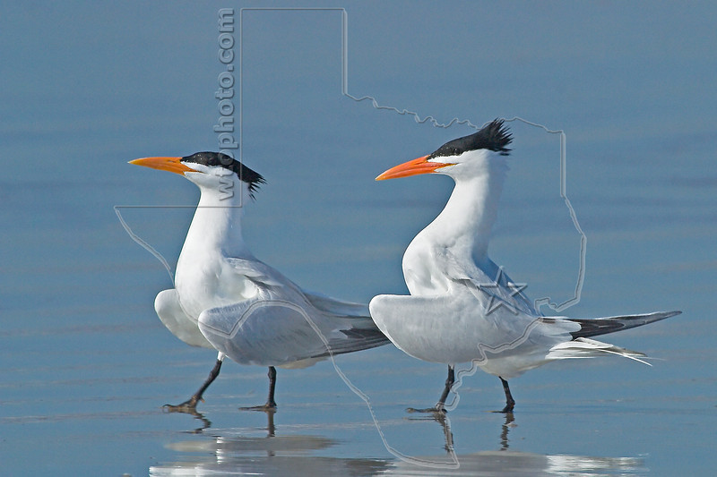 Royal Terns, Mating Behavior<br /> San Louis Pass, Texas