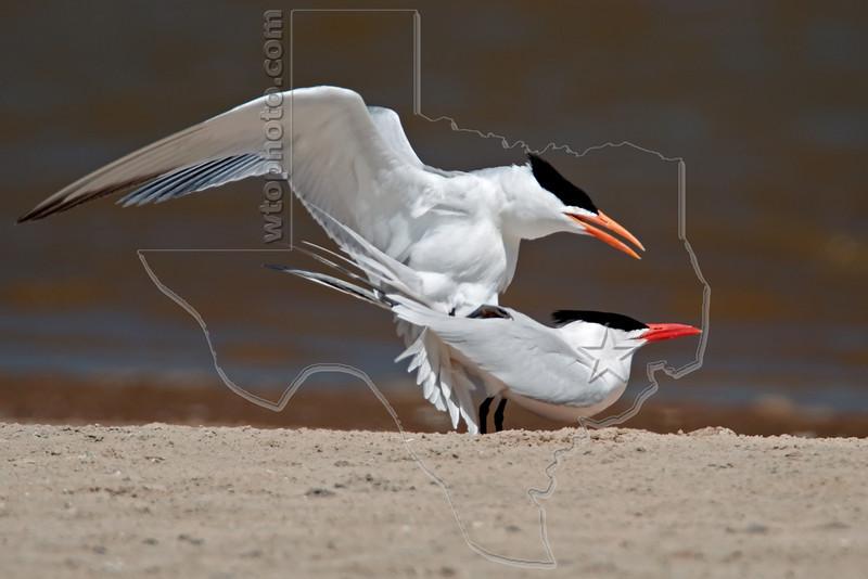 Royal Terns Mating,<br /> Bryan Beach, Quintana, Texas
