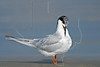 Forster's Tern<br /> East Beach, Galveston, Texas