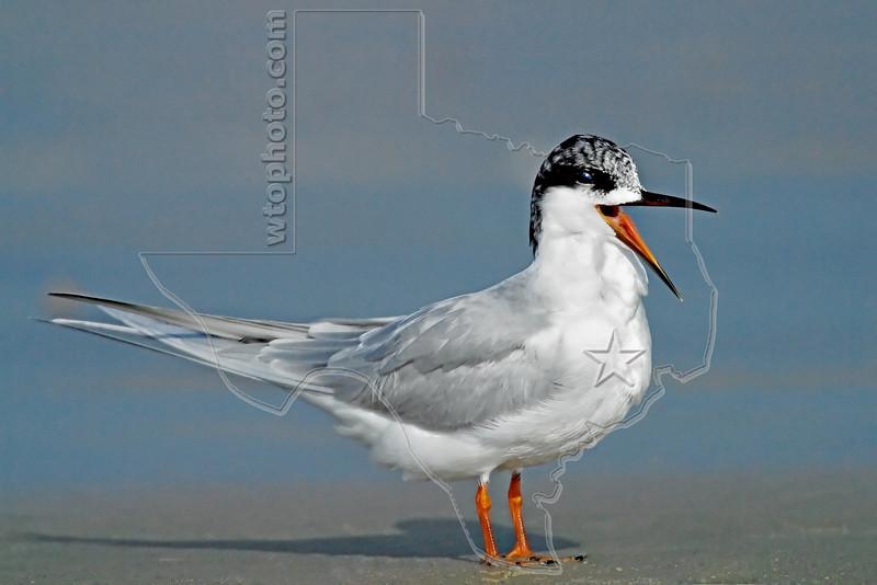 Forster's Tern,<br /> East Beach, Galveston, Texas