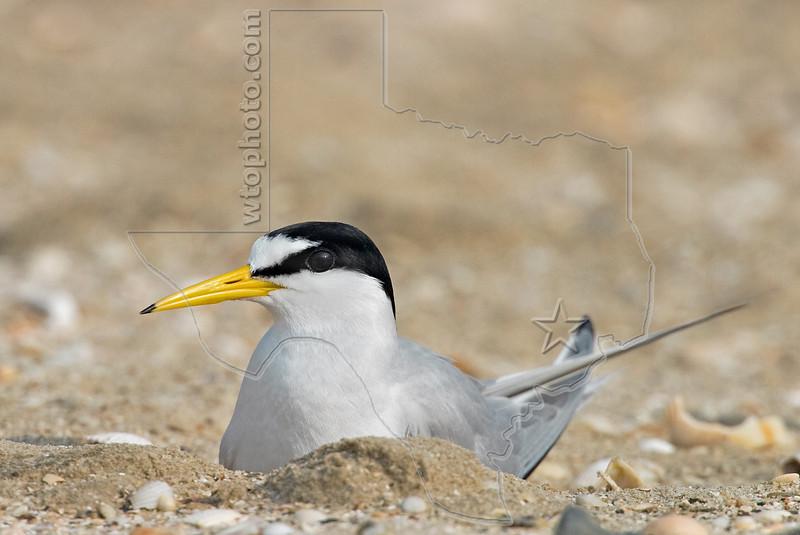 Least Tern Nesting,<br /> Bolivar Flats, Texas