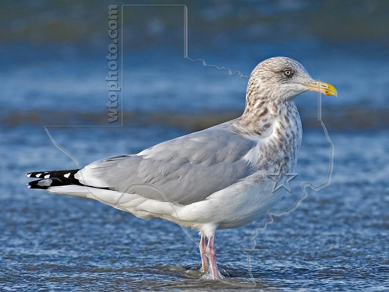 Herring Gull,<br /> East Beach, Galveston, Texas