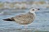 Herring Gull, Juvenile, First Winter,<br /> San Louis Pass, Texas