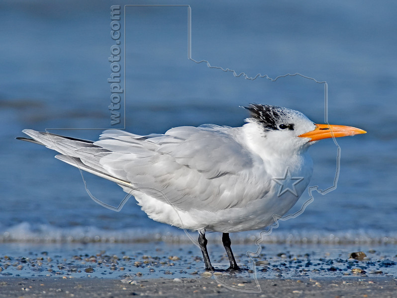 Royal Tern,<br /> East Beach, Galveston, Texas