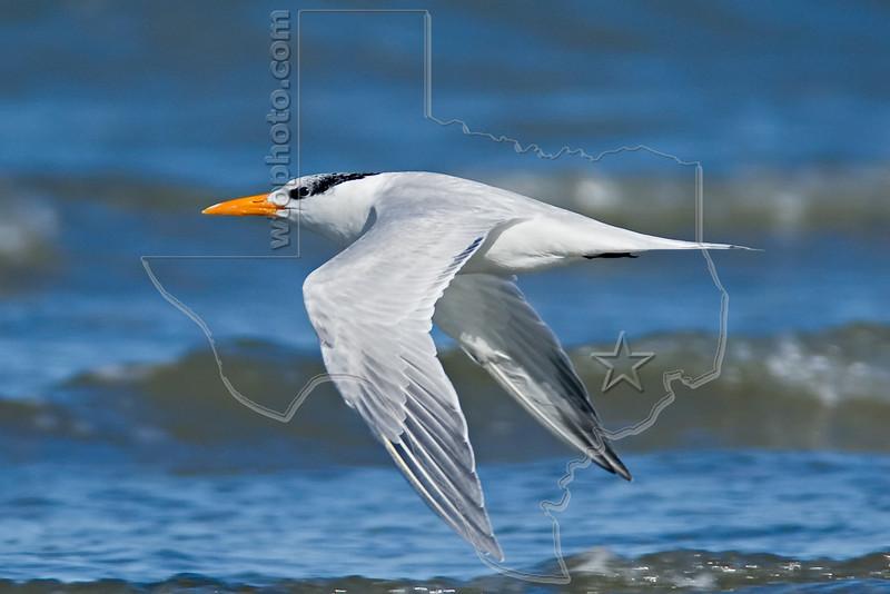 Royal Tern, Flight<br /> East Beach, Galveston, Texas