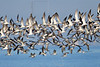 Black Skimmers, Flight,<br /> East Beach, Galveston, Texas