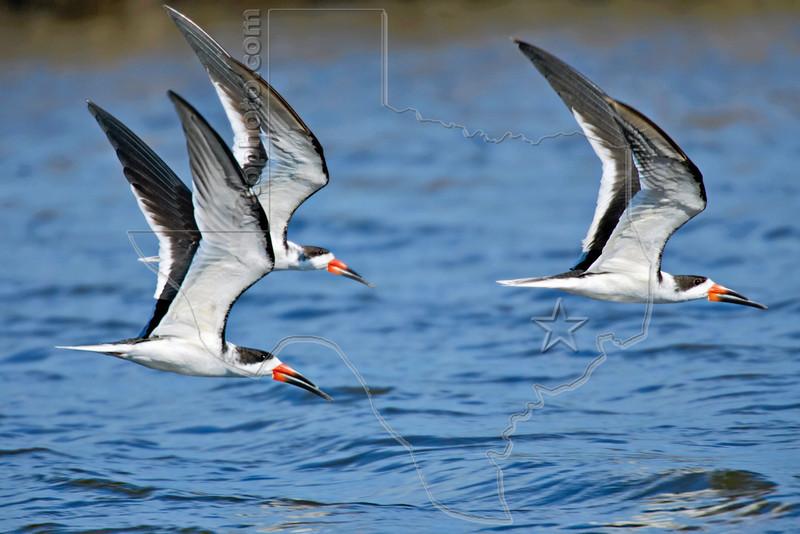 Black Skimmers, Flight,<br /> East Beach, Galveston, Texas