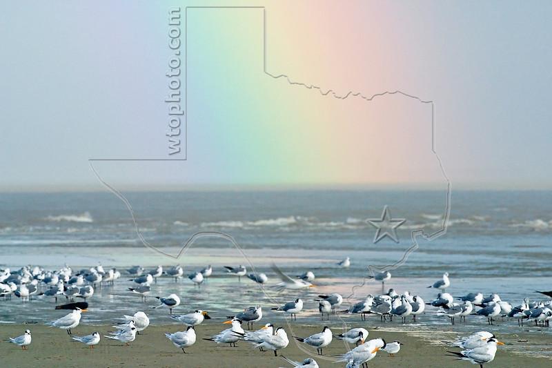 Shore Birds, Terns, Gulls and Rainbow,<br /> East Beach, Galveston, Texas