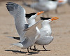 Royal Terns Mating Ritual,<br /> Bryan Beach, Quintana, Texas