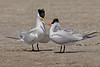 Royal Terns Mating,<br /> Bryan Beach, Quintana, Texas